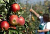 Oferta sezonowej pracy w Niemczech bez języka przy zbiorach jabłek Hamburg