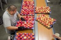 Od zaraz Niemcy praca przy pakowaniu owoców bez znajomości języka Kolonia