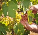 Niemcy praca sezonowa winobranie 2015 Offenburg przy zbiorach winogron