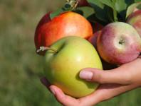 Od września 2015 sezonowa praca Niemcy przy zbiorach jabłek i gruszek
