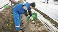 Niemcy praca sezonowa Hesja bez języka zbiory szparagów od marca 2016