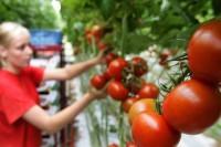 Sezonowa praca w Niemczech bez języka zbiory warzyw szklarniowych Zwickau kwiecień 2016
