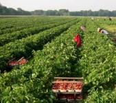 Dam sezonową pracę w Niemczech bez znajomości języka zbiory warzyw Cappeln