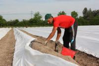 Sezonowa praca Niemcy przy zbiorach szparagów bez języka maj 2016 Bawaria