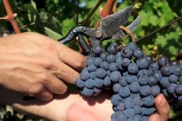 Bez znajomości języka sezonowa praca Niemcy od zaraz zbiory winogron Bonn
