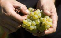 Ogłoszenie sezonowej pracy w Niemczech od zaraz zbiory winogron bez języka Neuwied
