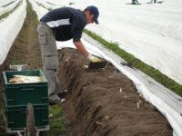 Niemcy praca sezonowa bez języka przy zbiorach szparagów 2018 Fellbach