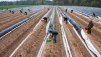 Bez znajomości języka sezonowa praca Niemcy zbiory szparagów 2017 Neuwarendorf