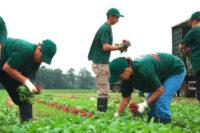 Niemcy praca sezonowa przy zbiorach warzyw 2017 bez znajomości języka Cappeln