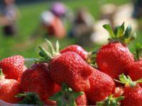 Sezonowa praca w Niemczech zbiory truskawek bez języka Rövershagen