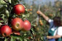 Od zaraz dam sezonową pracę w Niemczech zbiory jabłek bez języka Cottbus