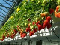Dam sezonową pracę w Niemczech przy zbiorach truskawek w szklarni od zaraz, Magdeburg
