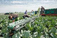 Oferta sezonowej pracy w Niemczech bez języka zbiory warzyw Frankfurt nad Menem