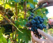 Niemcy praca sezonowa bez znajomości języka od zaraz zbiory winogron 2018 Karlsruhe