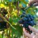 zbiory winogron praca sezonowa 2018