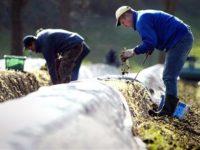 Praca Niemcy sezonowa zbiory szparagów, truskawek bez języka 2019 Geiselhöring