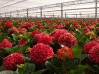 Ogrodnictwo Niemcy praca sezonowa bez znajomości języka przy kwiatach Westfalia