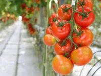 Niemcy praca sezonowa od zaraz przy zbiorach pomidorów w szklarni bez języka