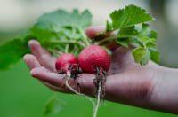 Bez języka sezonowa praca w Niemczech od zaraz przy zbiorach warzyw Frankfurt nad Menem