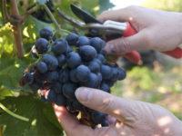 Bez języka dam sezonową pracę w Niemczech od zaraz zbiory winogron Karlsruhe