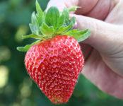 Bez języka sezonowa praca w Niemczech przy zbiorach truskawek na rok 2020 Rövershagen