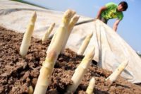 Zbiory szparagów bez znajomości języka oferta sezonowej pracy w Niemczech od kwietnia 2020 Beelitz