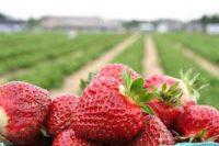 Bez języka sezonowa praca w Niemczech przy zbiorach truskawek od zaraz 2020 Fehmarn