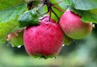 Sezonowa praca Niemcy bez języka przy zbiorach jabłek od września 2020 w Neuendeich