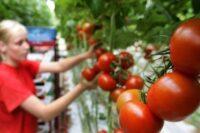 Niemcy praca sezonowa od zaraz przy zbiorach pomidorów bez języka Schkölen 2020
