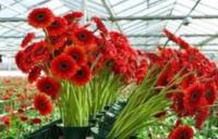 Bez języka dam sezonową pracę w Niemczech przy kwiatach ogrodnictwo od zaraz Kempen
