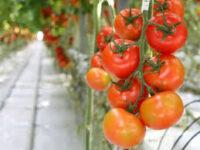 Bez języka Niemcy praca sezonowa zbiory pomidorów od zaraz w Schkölen