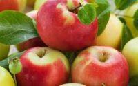 Od zaraz Niemcy praca sezonowa bez znajomości języka przy zbiorach jabłek 2021
