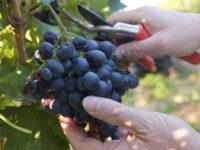 Przy zbiorach winogron bez języka sezonowa praca w Niemczech od zaraz 2021 Landau